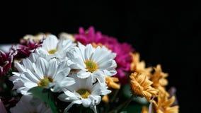 Różnorodni Ñ  hrysanthemums kwitną na czarnym tle Ð ¡ opy przestrzeń zdjęcie stock