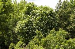Różnorodni drzewni krajobrazowi obrazy jarzy się i kwitnie w wiośnie, gigantyczny akacjowy drzewo, Zdjęcia Stock