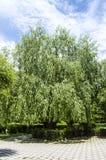 Różnorodni drzewni krajobrazowi obrazy jarzy się i kwitnie w wiośnie, gigantyczny wiszący wierzbowy drzewo Zdjęcia Stock