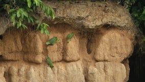 Różnorodni gatunki Amazon papugi na glinianym liźnięciu w Brazylia, typowy ptasi zachowanie, papugi zbiera balansować ich owocową zbiory wideo