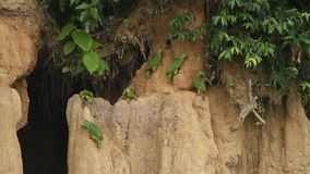 Różnorodni gatunki Amazon papugi na glinianym liźnięciu w Brazylia, typowy ptasi zachowanie, papugi zbiera balansować ich owocową zbiory