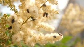 Różnorodni insekty zbierają nektar od kwitnących żółtych kwiatów na gałąź Zakończenie Biali kwiaty na gałąź są zbiory wideo