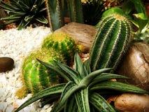 Różnorodni rodzaje Pustynne rośliny blisko Białych Gravels i skały w ogródzie Fotografia Royalty Free