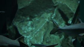 Różnorodni rodzaje rybi pływanie w wielkim akwarium zbiory wideo
