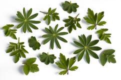 różnorodni ziele liść Obraz Royalty Free