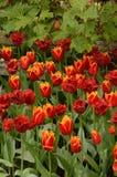 Różnorodność Frędzlaści tulipany w kwiatu łóżku Obraz Stock