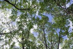 Różnorodny drzewny bagażnik i gałąź liść do obłocznego nieba Obrazy Stock