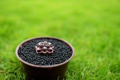 Różnorodny kaktus w garnku na zieleń ogródu ziemi Topiczna natury trawa na tle Gymnocalycium mihanovichii mrzonka - oryginał T zdjęcia stock