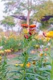 Różnorodny kwiat na ogrodowy łonowym Fotografia Royalty Free