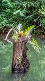 Różnorodny paproci roślina r na nieżywym bagażniku Ulin Eusideroxylon zwageri obraz stock