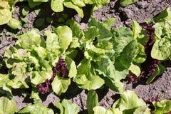 Różnorodny sałata na ogródzie zdjęcie stock