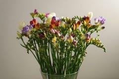 Różny kolor frezi kwiatów okwitnięcie Zdjęcie Royalty Free