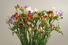 Różny kolor frezi kwiatów okwitnięcie Zdjęcia Stock