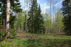 Różny las przy wiosną Obraz Stock
