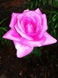 różową różę Fotografia Royalty Free