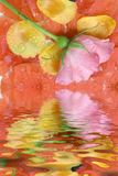 różową różę Obraz Royalty Free