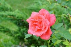 różową różę Fotografia Stock