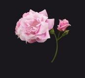 różową różę Zdjęcia Stock