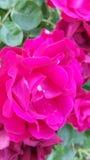 różową różę Obraz Stock