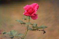 różową różę Zdjęcie Royalty Free