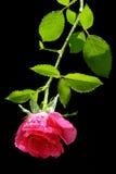 różową różę specjalne Zdjęcie Stock
