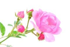 różową różę white obrazy stock