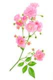 różową różę white zdjęcia stock
