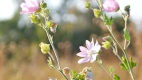 Różowa łąka kwitnie chlanie w wiatrze, jesieni lata sezon zbiory