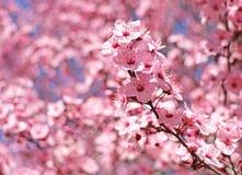 Różowa śliwka kwitnie z płytką głębią pole Fotografia Stock