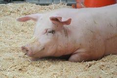 Różowa świnia obrazy royalty free