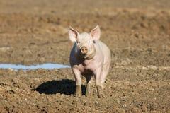 Różowa świnia Zdjęcia Royalty Free