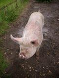 Różowa świnia Zdjęcie Royalty Free