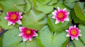 Różowa żółta wodna leluja obraz stock