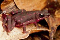 Różowa żaba Obrazy Stock
