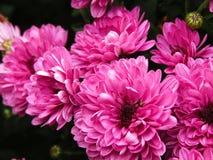 Różowa żniwo otucha Obraz Stock