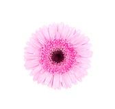 Różowa afrykańska stokrotka odizolowywająca Zdjęcie Royalty Free