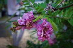 Różowa akacja obrazy stock