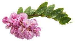 różowa akacja odizolowywająca obraz stock