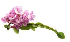 różowa akacja odizolowywająca fotografia royalty free