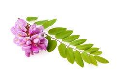 Różowa akacja z liśćmi odizolowywającymi obrazy stock