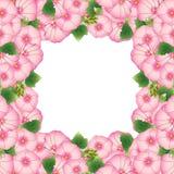 Różowa Alcea Rosea granica - hollyhocks, Aoi w ślaz rodziny Malvaceae pojedynczy białe tło również zwrócić corel ilustracji wekto ilustracja wektor