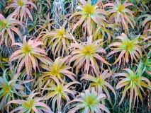 Różowa aloesu Vera roślina Piękni aloesów kwiatów liście w Garde Obrazy Stock