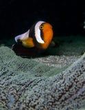 Różowa Anemonowa ryba z ciemnym tłem Zdjęcie Stock