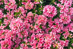 Różowa azalia Obraz Royalty Free