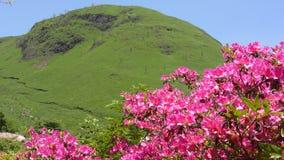 Różowa azalia i wzgórze zbiory wideo