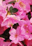Różowa azalia Kirin Obraz Stock