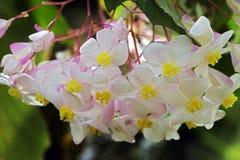 Różowa begonia w kontraście do zielonego tła las Zdjęcia Stock