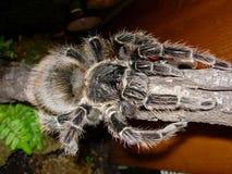różowa birdeater tarantula łososiowa Obrazy Stock