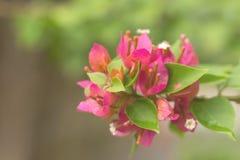 Różowa Bougainvillea papierowych kwiatów miękka ostrość Zdjęcia Royalty Free