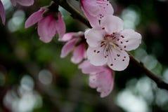 Różowa brzoskwinia kwitnie w Marzec zdjęcie stock